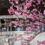 激戦の上野公園で花見を今年こそはしたい!場所取り代行業者の利用費用は?