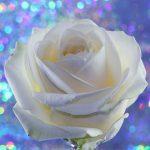 父の日に白いバラ・サボテン・白いカーネーションを贈るのはなぜ?お国柄?